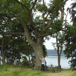 PhD student Lea Vig McKinney in front of a tested ash tree growing at Arnkildsøre, Als. Out of 101 tested trees, this is one of the few trees able to produce predominantly healthy offspring. Photo: L.R.Nielsen, 2009.